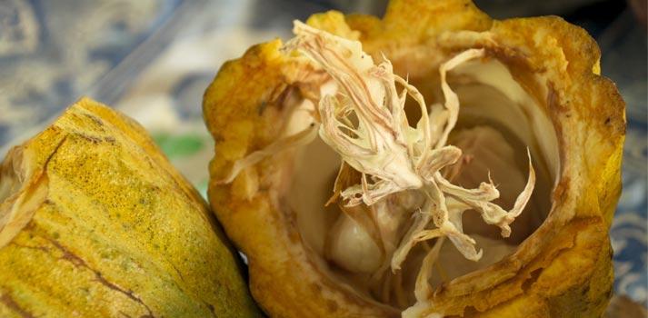 1-El Fruto del Cacao
